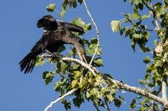 Cormorano a doppia cresta che allunga le sue ali mentre appollaiato in albero alto Immagine Stock