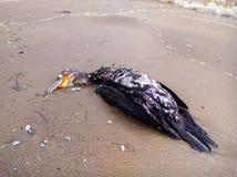 Cormorano morto sulla spiaggia Fotografie Stock