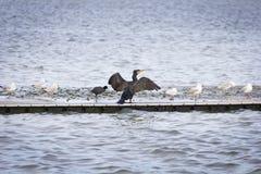 Cormorano nero nella piattaforma fotografie stock libere da diritti