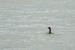 Cormorano pelagico che galleggia nell'oceano Pacifico fotografia stock