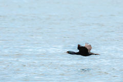 Cormorano pelagico che sorvola oceano Pacifico immagine stock