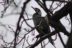 Cormorano su un albero Fotografia Stock