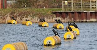 Cormorans étés perché sur une balise Photos stock