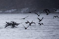 cormorans Photos libres de droits