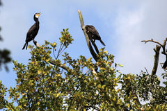 Cormorans Royalty Free Stock Photography