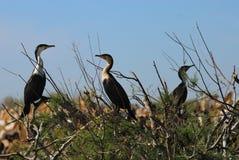 Cormorans. A cormoran colony, at the djoudj reserve, Senegal, Africa stock images