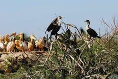 Cormorans. A cormoran colony, at the djoudj reserve, Senegal, Africa royalty free stock photo