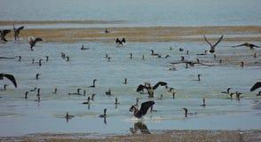 cormorans Photographie stock libre de droits