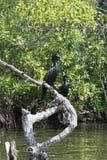 cormorans Photo stock