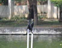 cormorans Image libre de droits