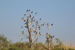 30 cormorans Photos libres de droits