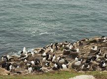 Cormorans, albatros et pingouins sur Cliff Overlooking l'Océan Atlantique photos stock