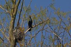 Cormorans autour de leur nid Photographie stock libre de droits