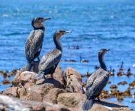 Cormorans blancs-breasted Photographie stock libre de droits