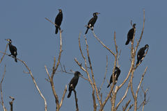 Cormorans (carbo de phalacrocorax) Photographie stock