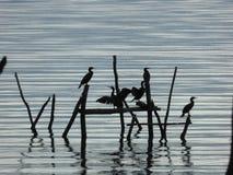 Cormorans dans un lac Prespa, Macédoine Photos libres de droits