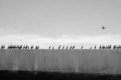 Cormorans dans une rangée Images libres de droits