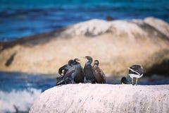 Cormorans de cap se reposant sur une roche à la baie de Betty photographie stock libre de droits