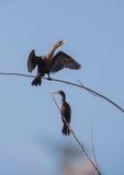 Cormorans de Neotropic étés perché sur des branches photo libre de droits