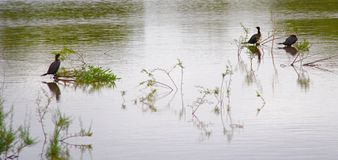 Cormorans de Neotropic Photo stock