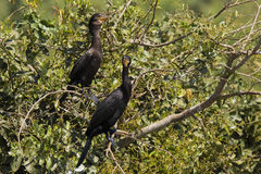 Cormorans de Neotropical étés perché sur des buissons Photos stock
