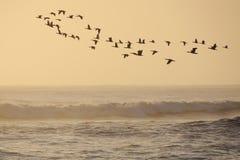 Cormorans de vol Photographie stock libre de droits