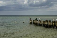Cormorans en mer Photo stock
