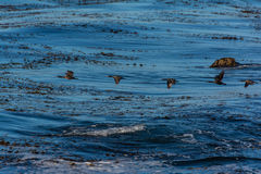 Cormorans en vol Photos stock