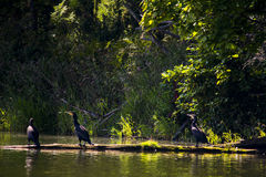 Cormorans grands Image stock