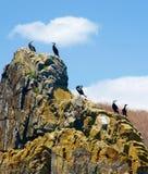 Cormorans noirs image stock