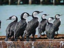 Cormorans pies australiens Images libres de droits