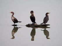 Cormorans se reposant sur un rondin Photo libre de droits