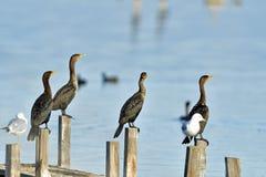 Cormorans se séchant  Image libre de droits