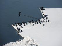 Cormorans sur la neige Photos stock