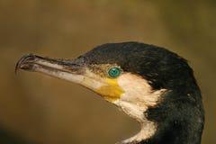 cormorant большой Стоковое Фото