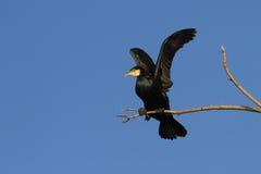 cormorant большой стоковое изображение rf