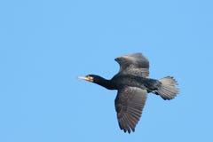 cormorant большой стоковая фотография rf