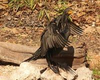 Cormorant на утесе Стоковое Изображение RF