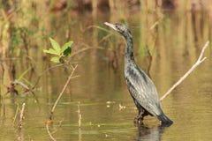 cormorant немногая Стоковое Изображение