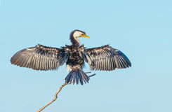 cormorant немногая pied Стоковые Изображения