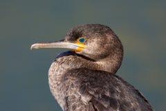cormorant плащи-накидк Стоковые Фото