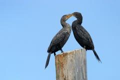cormorant плащи-накидк Стоковая Фотография