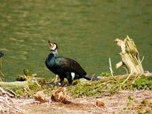 A cormorant. A cormorant, latin name Phalacrocorax carbo Stock Photos