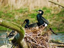 Cormorant. 3 cormorants on their nest. Latin name Phalacrocorax carbo Royalty Free Stock Photography