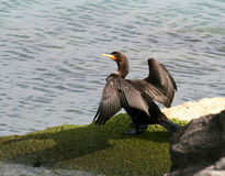 Free Cormorant Royalty Free Stock Photo - 11198225