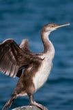 cormorant Стоковое фото RF