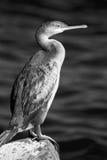 cormorant Стоковое Фото