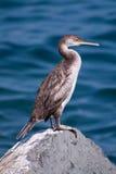 cormorant Стоковая Фотография RF