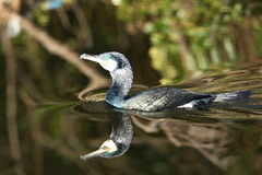 Cormorant. Royalty Free Stock Photography