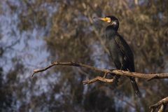 Cormorant. Black Cormorant on a dry branch Stock Images
